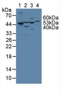 Western blot - Anti-PAH antibody (ab232999)