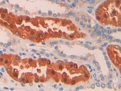 Immunohistochemistry (Formalin/PFA-fixed paraffin-embedded sections) - Anti-PAH antibody (ab232999)