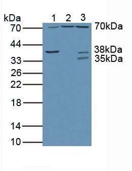 Western blot - Anti-Ribophorin I antibody (ab233000)