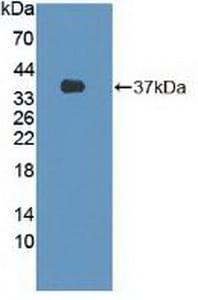 Western blot - Anti-Flightless I antibody (ab233001)