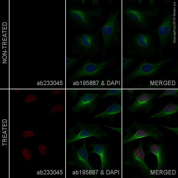 Immunocytochemistry/ Immunofluorescence - Alexa Fluor® 647 Anti-DDIT3 antibody [9C8] (ab233045)
