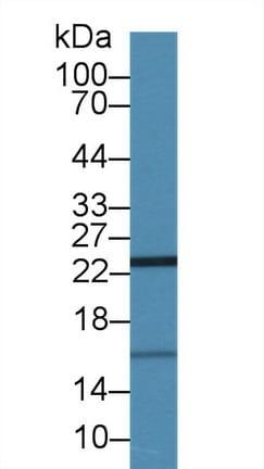Western blot - Anti-ISG15 antibody (ab233071)