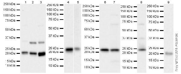 Western blot - Anti-Bok antibody [BOK-R1-5-1] (ab233072)