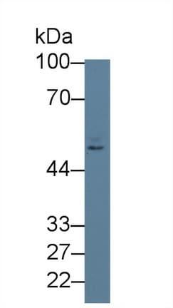 Western blot - Anti-Nectin 2 antibody (ab233085)