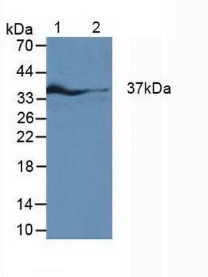 Western blot - Anti-IRF1 antibody (ab233087)