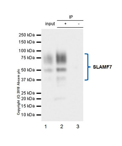 Immunoprecipitation - Anti-SLAMF7/CS1 antibody [EPR21155] - BSA and Azide free (ab233090)