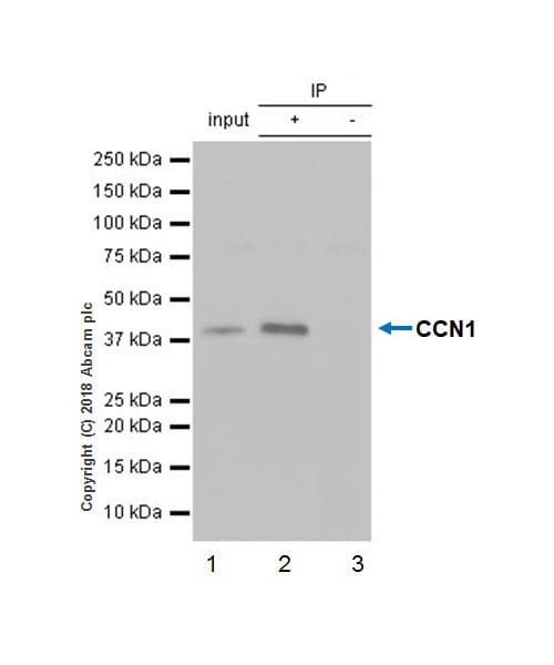Immunoprecipitation - Anti-CYR61/CCN1 antibody [EPR20681] - BSA and Azide free (ab233097)