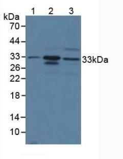 Western blot - Anti-Mast Cell Chymase antibody (ab233103)