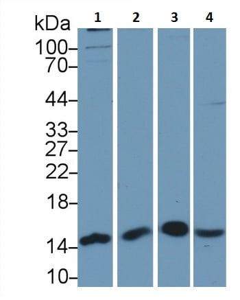 Western blot - Anti-PHPT1 antibody (ab233116)