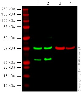 Western blot - Anti-DDIT3 antibody [9C8] - BSA and Azide free (ab233121)