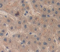 Immunohistochemistry (Formalin/PFA-fixed paraffin-embedded sections) - Anti-RBP4 antibody (ab233138)