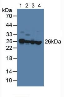 Western blot - Anti-RKIP antibody (ab233144)