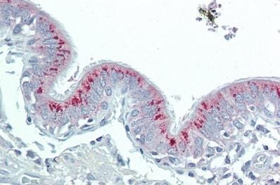 Immunohistochemistry (Formalin/PFA-fixed paraffin-embedded sections) - Anti-HAO1/GOX antibody (ab233150)