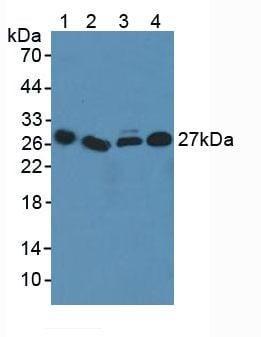 Western blot - Anti-ICOS Ligand/ICOSL antibody (ab233151)