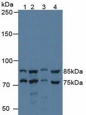 Western blot - Anti-RED antibody (ab233163)