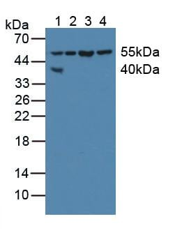 Western blot - Anti-XIAP antibody (ab233164)