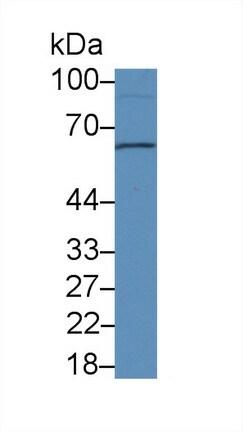 Western blot - Anti-Sulfite oxidase antibody (ab233186)