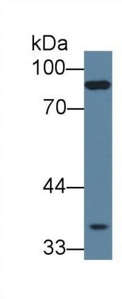 Western blot - Anti-PCDHB15 antibody (ab233195)