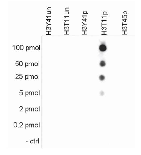 Dot Blot - Anti-Histone H3 (phospho T11) antibody (ab233199)
