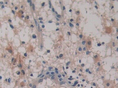 Immunohistochemistry (Formalin/PFA-fixed paraffin-embedded sections) - Anti-SerpinB6/CAP antibody (ab233229)