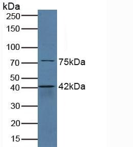 Western blot - Anti-SerpinB6/CAP antibody (ab233229)