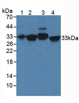 Western blot - Anti-Syntaxin 2/STX2 antibody (ab233275)