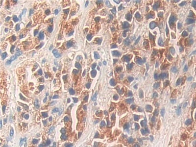 Immunohistochemistry (Formalin/PFA-fixed paraffin-embedded sections) - Anti-Kallikrein 11 antibody (ab233278)