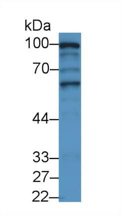 Western blot - Anti-spag1 antibody (ab233283)