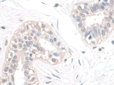 Immunohistochemistry (Formalin/PFA-fixed paraffin-embedded sections) - Anti-spag1 antibody (ab233283)