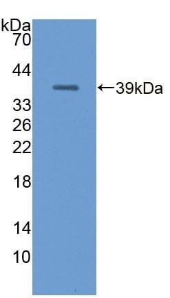 Western blot - Anti-MT-ND1 antibody (ab233289)