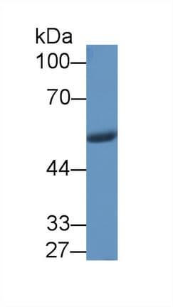 Western blot - Anti-Visfatin antibody (ab233294)