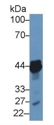 Western blot - Anti-NK-2R antibody (ab233295)