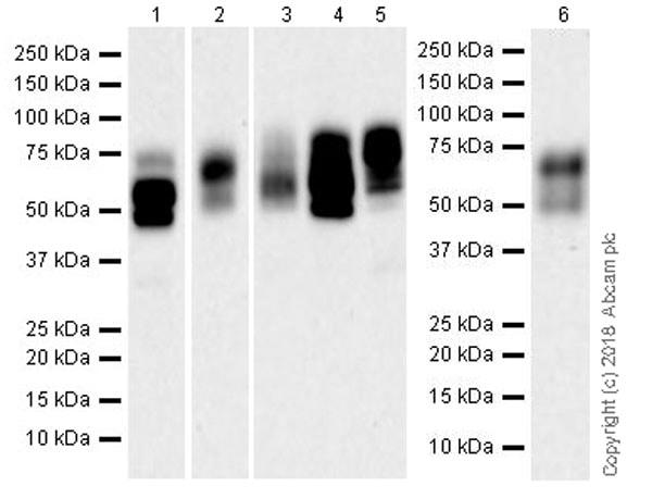 Western blot - Anti-Nectin 2 antibody [EPR21124] (ab233384)