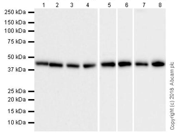 Western blot - Anti-M-CSF antibody [EPR20948] (ab233387)