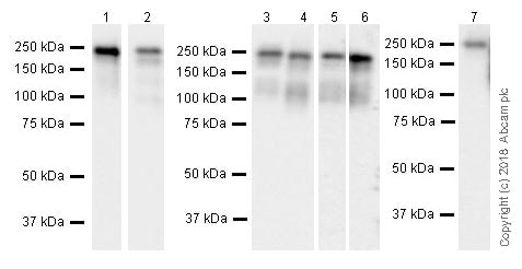 Western blot - Anti-Laminin gamma 1 antibody [EPR21199] (ab233389)