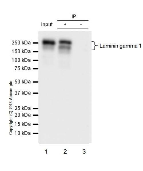 Immunoprecipitation - Anti-Laminin gamma 1 antibody [EPR21199] (ab233389)