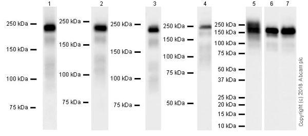Western blot - Anti-Laminin gamma 1 antibody [EPR21200] (ab233390)