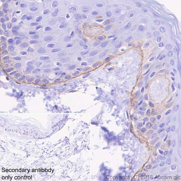 Immunohistochemistry (Formalin/PFA-fixed paraffin-embedded sections) - Anti-Laminin gamma 1 antibody [EPR21200] (ab233390)