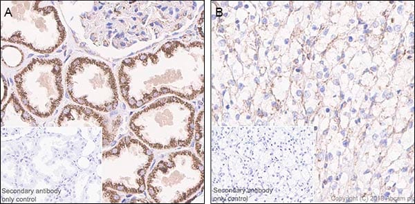 Immunohistochemistry (Formalin/PFA-fixed paraffin-embedded sections) - Anti-FH/Fumarase antibody [EPR21105] (ab233393)