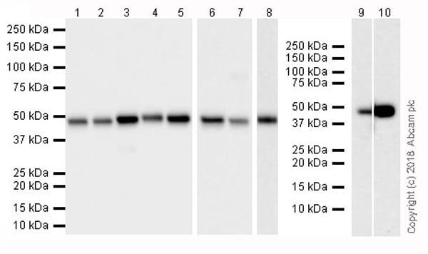 Western blot - Anti-FH/Fumarase antibody [EPR21104] (ab233394)