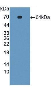 Western blot - Anti-SYNC antibody (ab233403)