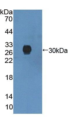 Western blot - Anti-TANK/TRAF2 antibody (ab233406)