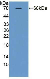 Western blot - Anti-FKBPL antibody (ab233426)