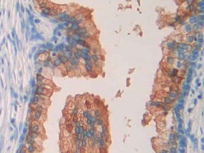 Immunohistochemistry (Formalin/PFA-fixed paraffin-embedded sections) - Anti-SEPT5 antibody (ab233431)