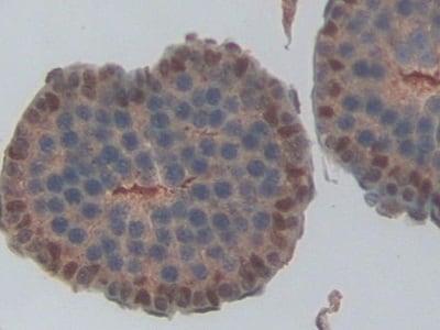 Immunohistochemistry (Formalin/PFA-fixed paraffin-embedded sections) - Anti-NME6 antibody (ab233442)