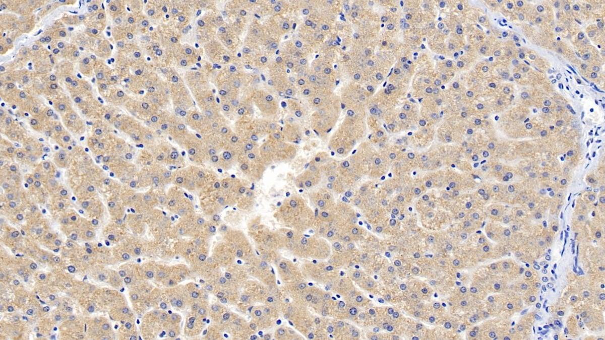 Immunohistochemistry (Formalin/PFA-fixed paraffin-embedded sections) - Anti-GDNF Receptor alpha 1/GFRA1 antibody (ab233444)