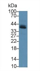Western blot - Anti-PD-L1 antibody (ab233482)