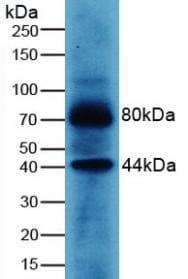 Western blot - Anti-Wnt3a antibody (ab233485)