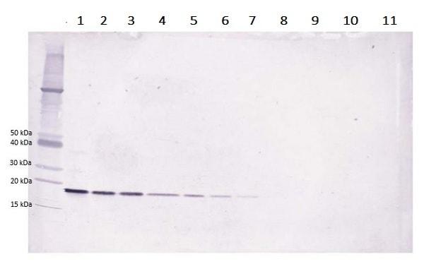 Western blot - Anti-LIGHT/TNFSF14 antibody (Biotin) (ab233504)