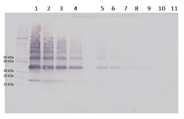 Western blot - Biotin Anti-VEGFB antibody (ab233505)